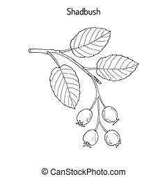 Amelanchier, also known as shadbush, shadwood or shadblow,...