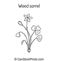 Wood Sorrel, Wild flower - Wood Sorrel Oxalis acetosella -...