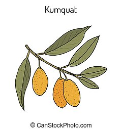Kumquat (citrus japonica) branch. Hand drawn botanical...