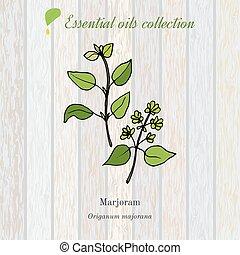 marjoram, essential oil label, aromatic plant. Vector...