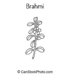 Brahmi Bacopa monnieri or waterhyssop, thyme-leafed...