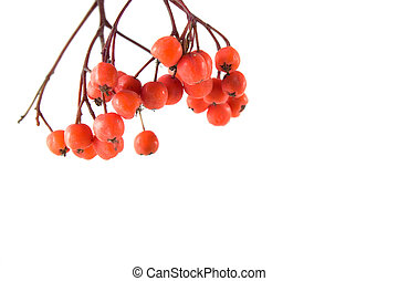 Rowanberry bunch, isolated on white background