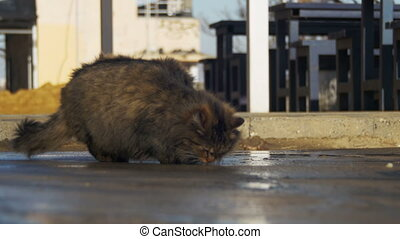 Homeless Gray Cat on the Street Eat Food in Early Spring....