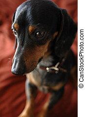 Oscar - small dog