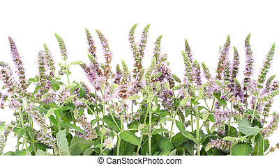 Border from a blossoming peppermint - Border from a...