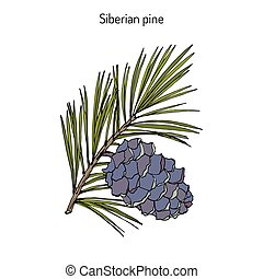 Pinus sibirica, or Siberian pine, branch with cone. Hand...