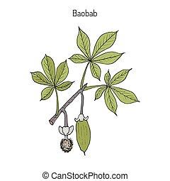 Baobab Adansonia digitata , or dead-rat tree, monkey-bread...