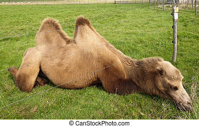 Kamel mit Kopf unter Elektrozaun - Kamel steckt Kopf unter...