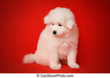 White Puppy of Samoyed Dog on Red Background. - Cute White...