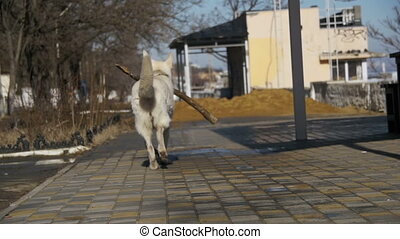 Dog with a Stick in his Mouth Runs Along the Street in the...
