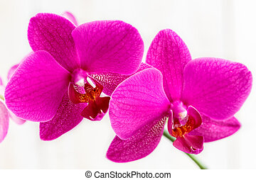 Flowers of a pink orchid.