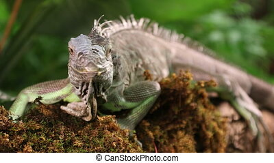 Large Green Iguana - Green Iguana male lying on a branch and...