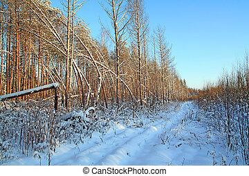 bent pines near rural road