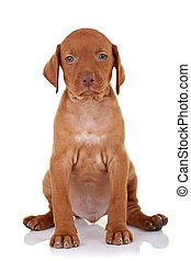 cute baby vizsla dog seating on a white background and...