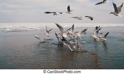 Flock of Hungry Seagulls Flying above the Water and Eat a...