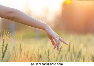 Woman hand touching barley at sunset time with sun flare