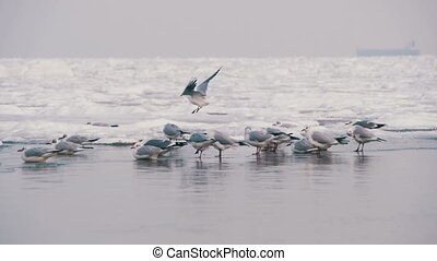 Seagulls Sitting on the Frozen Ice-Covered Sea. Gulls fly...