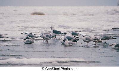 Seagulls Sitting on the Frozen Ice-Covered Sea - Seagulls on...