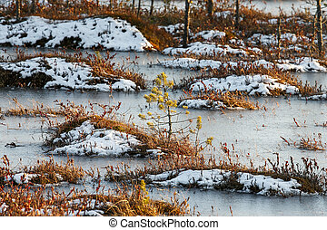 Small pines on a swamp in winter - Small pine trees and...