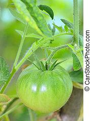 Unripe tomato in garden - Bio unripe tomato in garden