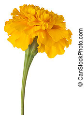 marigold flower isolated - Studio Shot of Yellow Colored...