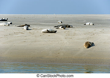 Seal in nature landscape - Many seal in Dutch wadden sea on...