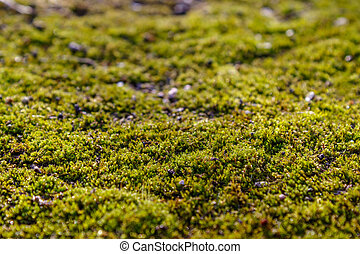 Moss on the asphalt. Lichen on the ground. Moss for...