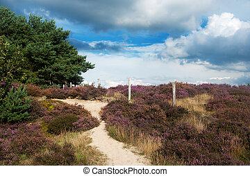 heather landscape - nature heather landscape with purple...