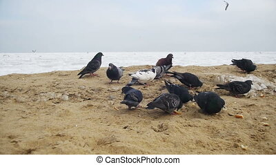 Pigeons and Seagulls Eat Bread on the Beach in Winter Frozen Ice-Covered Sea Background. Slow Motion