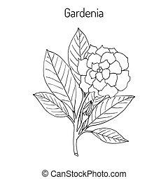 Gardenia jasminoides, gardenia, cape jasmine, cape...