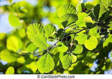 feuilles, aulne, lumière soleil