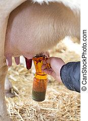 ubre, yodo,  cow's, cuidado