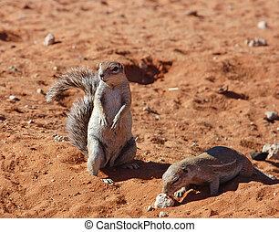 Ground Squirrel (Xerus inaurus) - Ground Squirrels in the...