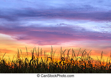 Cornfield Sunset Silhouette - An amazing, dramatic, colorful...