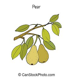 Pear branch with fruit pyrus communis , or european pear