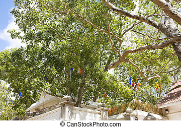 Sacred Bo Tree, Anuradhapura, Sri Lanka - Image of the holy...