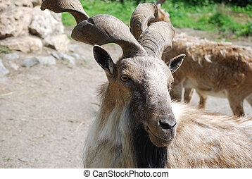 Goat with beautiful twisted horns in an environment of other...