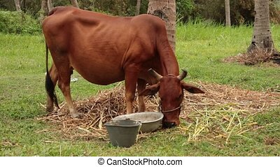 Brown Cow Feeding - A brown cow feeding in a lush green...