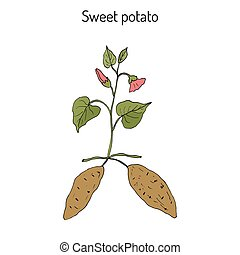 Sweet Potato ipomoea batatas . Hand drawn botanical vector...