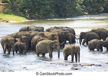 Sri Lankan Elephants in Water - Image of elephants bathing...