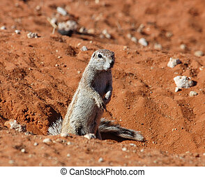 Ground Squirrel Xerus inaurus - A Ground Squirrel in the...