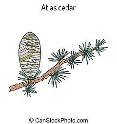Branch of a Atlas Cedar Cedrus atlantica . Hand drawn...