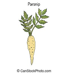 Parsnip, root vegetable - Parsnip pastinaca sativa , root...