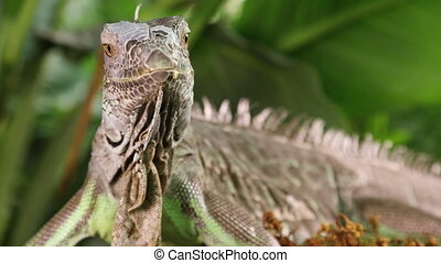 Portrait of large Green Iguana male on a branch outdoors