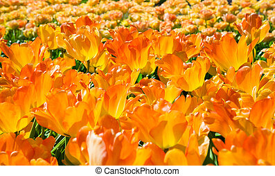 Group of blooming orange tulips from above in closeup
