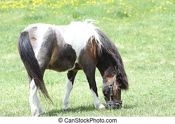 Horse, Pinto - Brown & White horse (Pinto) grazing on fresh...