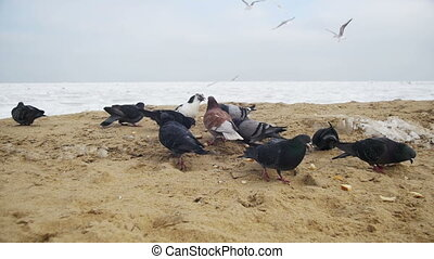 Pigeons and Seagulls Eat Bread on the Beach in Winter Frozen...