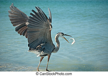 Great Blue Heron Tossing a Fish in the Air - A Great Blue...
