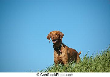 Female Vizsla Dog on a Grassy Hill - A female Vizsla dog...