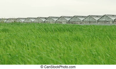 Wheat Field and Greenhouse - Wheat field in windy weather...